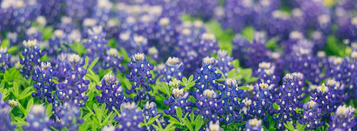Austin Bluebonnets Real Estate